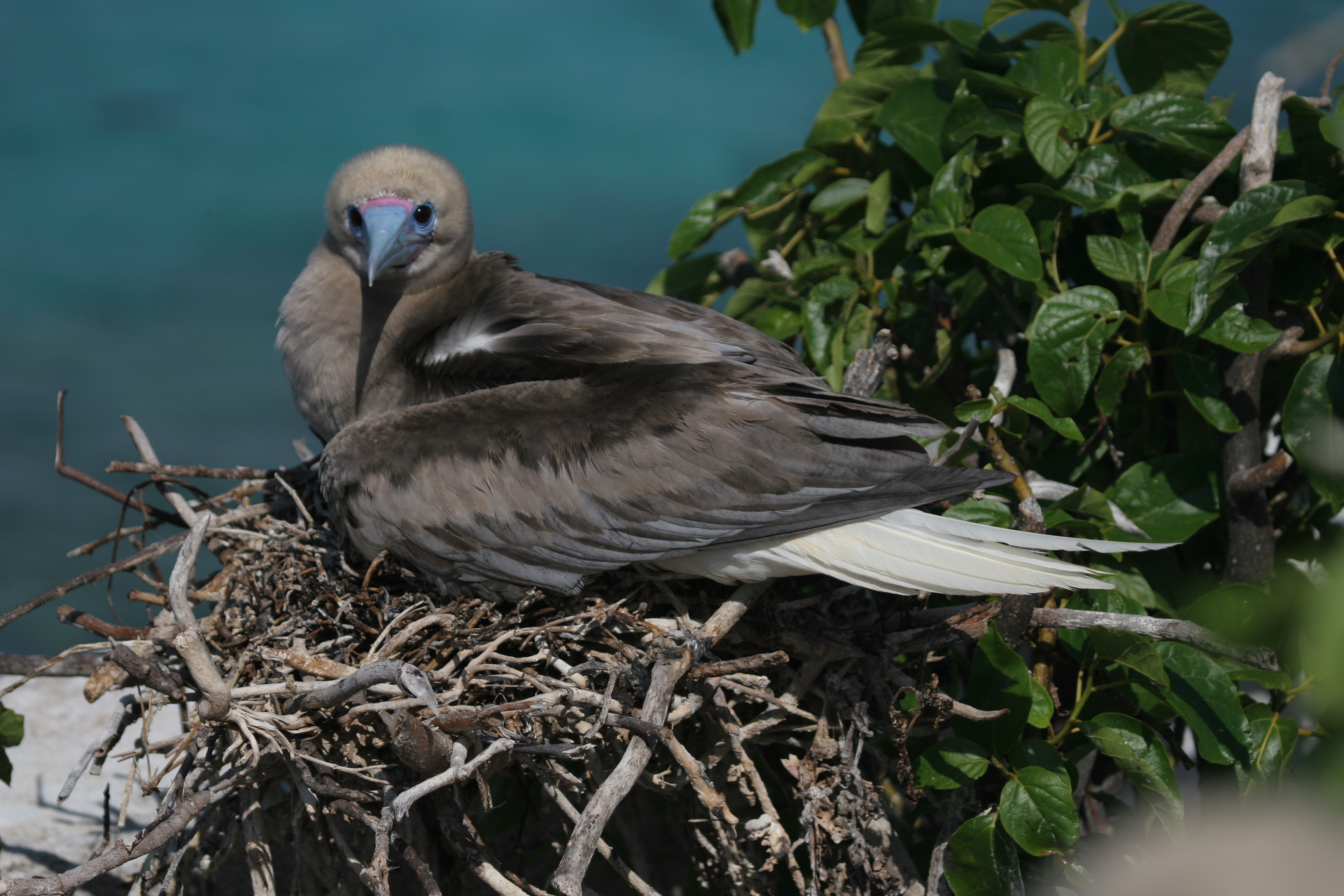 White-tailed brown morph of Red-footed Booby