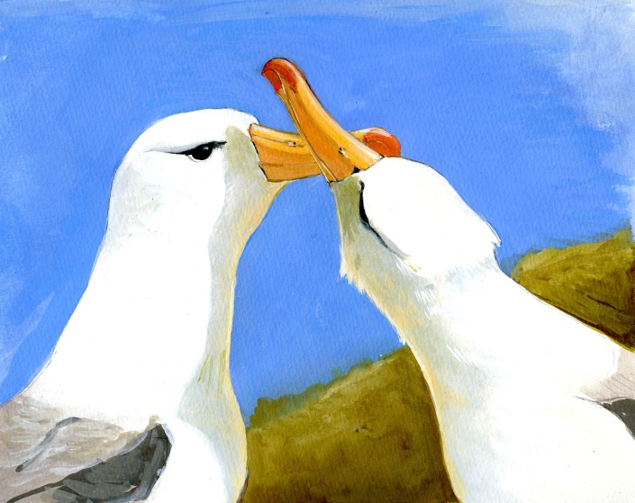 Albatross, courting, falklands