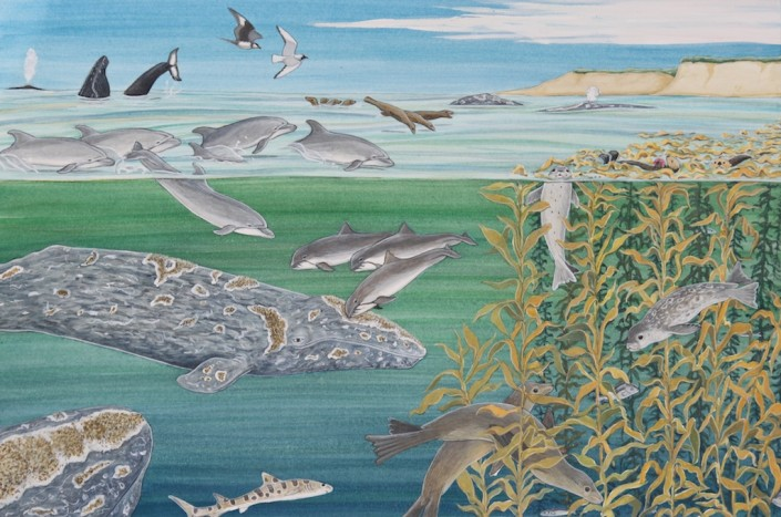 Gray whale, whales, kelp
