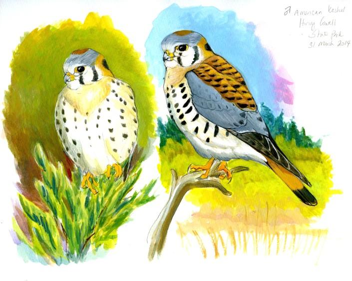 Falcon, kestrel, American Kestrel