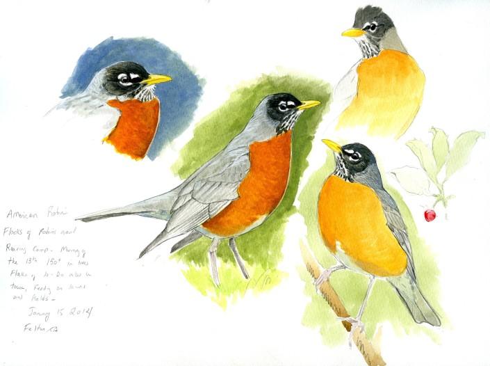 Robin, American Robin. bird