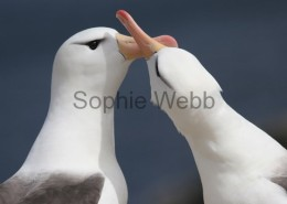 Black-browed Albatross courting