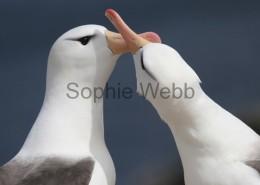 Black-browed Albatross courting