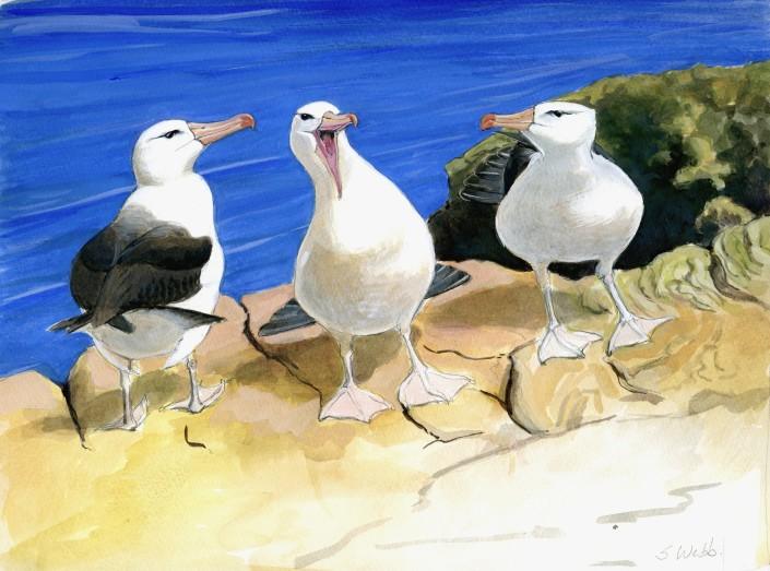 Albatross, Black-browed Albatross, seabird