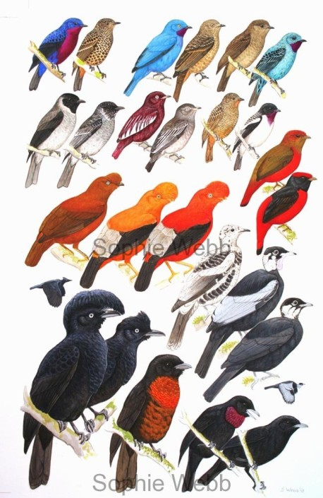 Birds, tropical birds,cotinga, Peru
