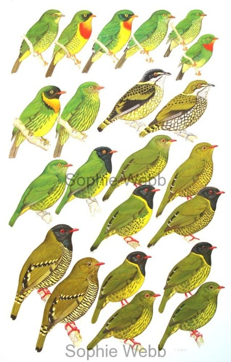 Birds, tropical birds, Fruiteaters,