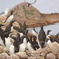 Common Murres, Seabirds, Farrallones