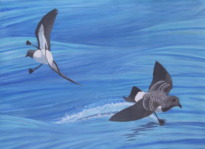 Storm-Petrels, seabirds, ocean