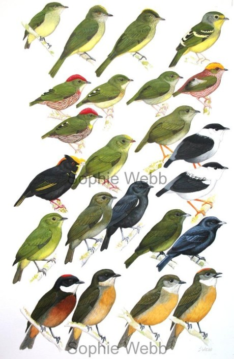 Birds, tropical birds, manakins