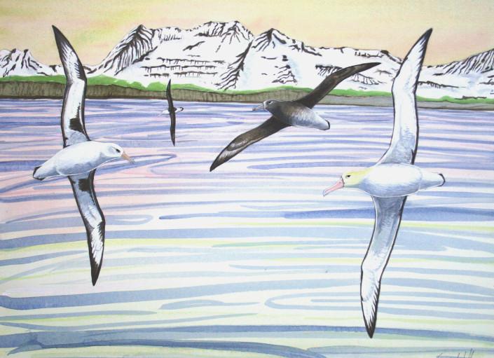 Albatross, Aleutians, Alaska