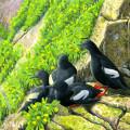 Pigeon Guillemots, Birds, Farallones
