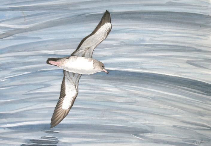 Shearwater, Seabird, Ocean
