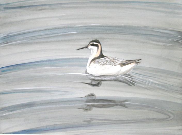 Phalarope, ocean, seabird