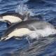 SB Common Dolphins
