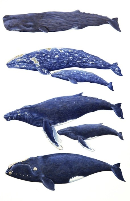 Whales, sperm whale, humpback, gray whale, North Pacific right whale