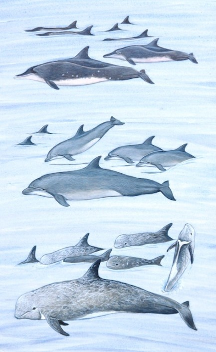 Dolphin, bottle-nose dolphin