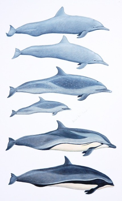 Dolphins, striped dolphin, spinner dolphi, Pantropical spotted dolphi, Fraser's dolphin