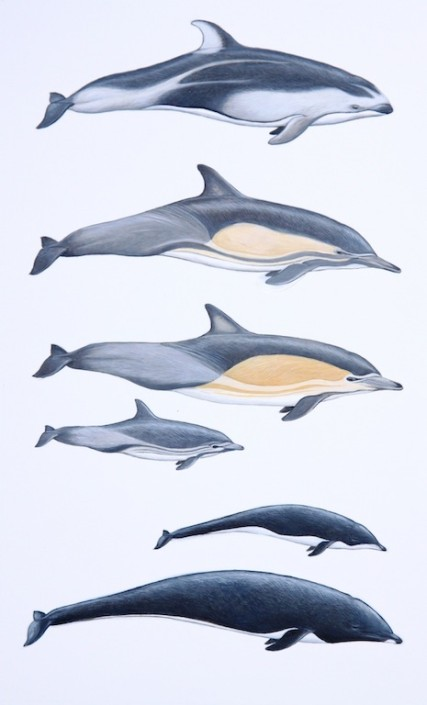 Dolphin, pacific white-sided dolphin, short-beaked common dolphin, northern right whale dolphin