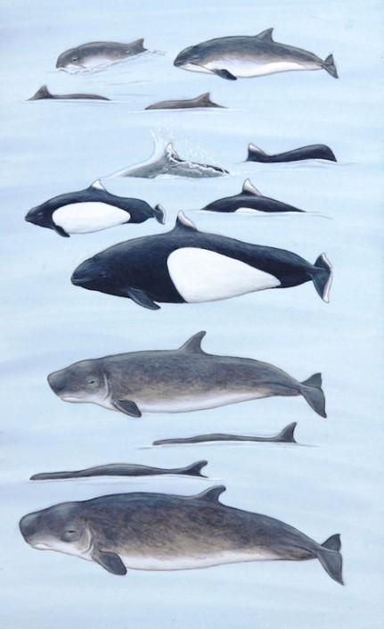 Porpoise, Pygmy sperm whale, dwarf sperm whale