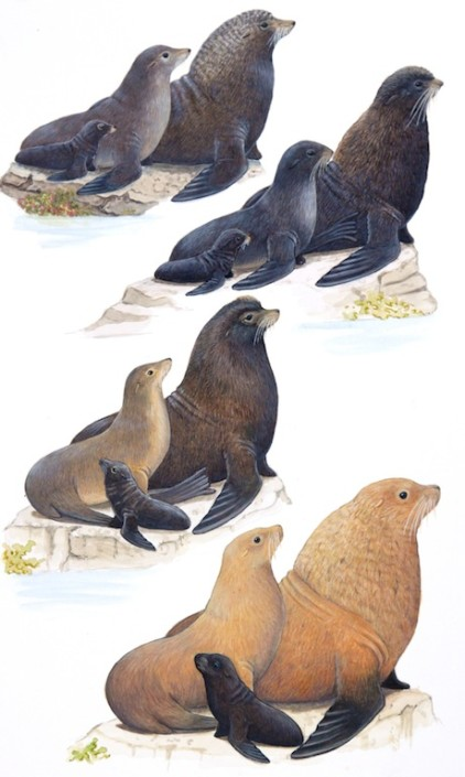 Fur seal, sea lion
