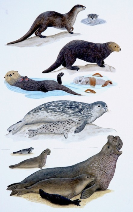 Sea otter, harbor seal elephant seal
