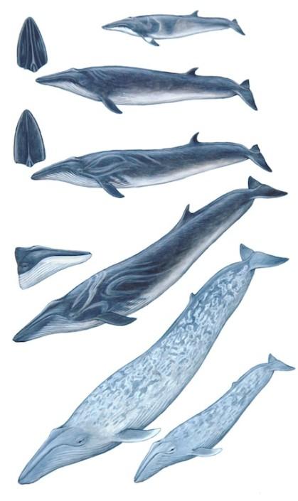 Whales, blue whale, fin whale