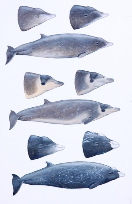 Beaked whale, whale