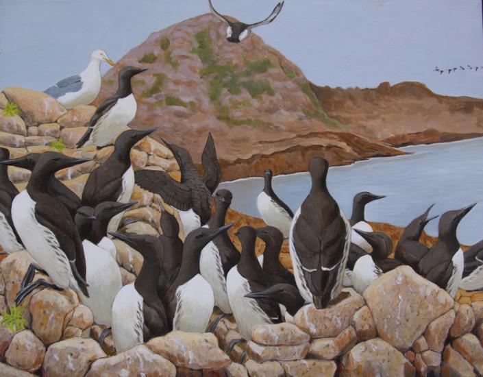 Murre, Seabirds, Farallones