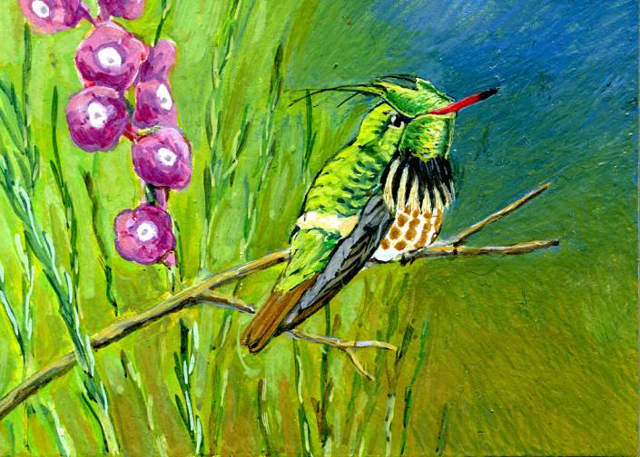 Hummingbird, black-crested Coquett, coquette