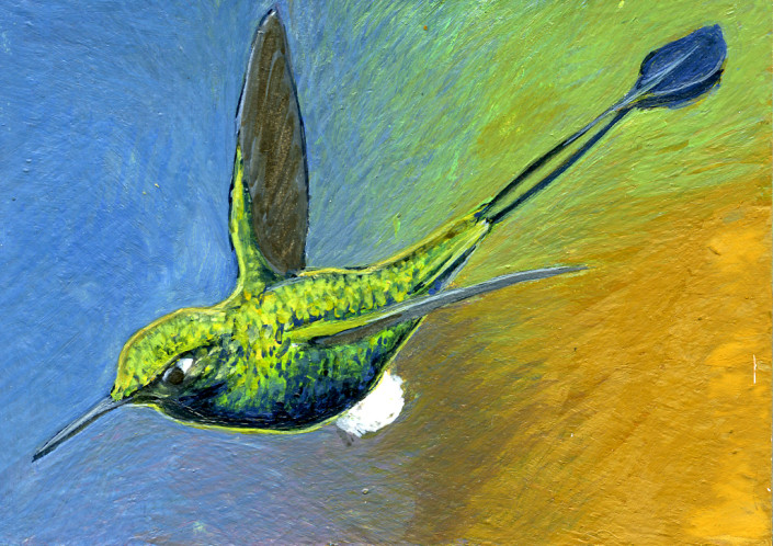 Hummingbird, Booted Racket-tail