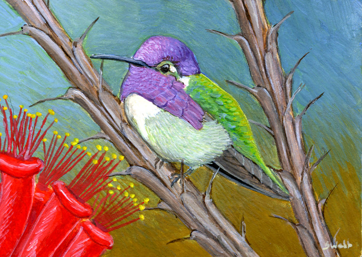 Costa's Hummingbird, Hummingbird