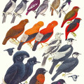Cotingas, Fruit Crows, Umbrella Bird, tropics, birds