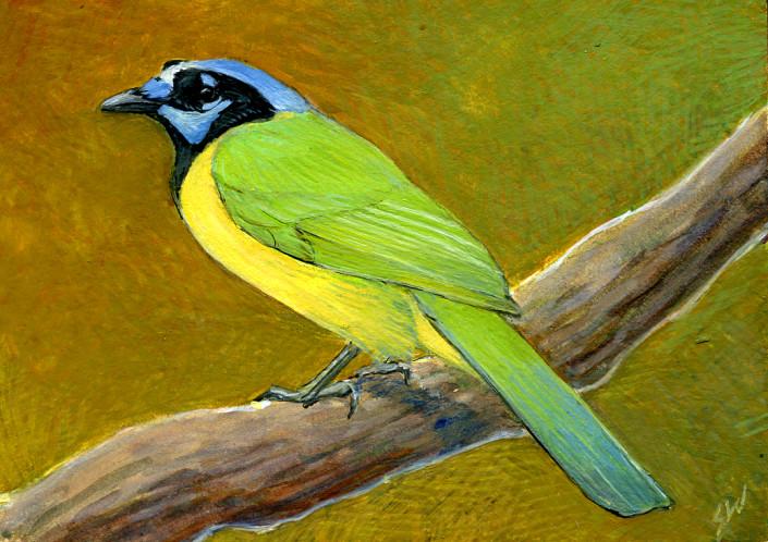Green Jay, Jay