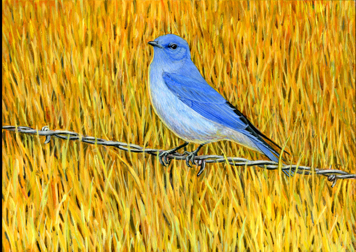 Mountain Bluebird, bluebird