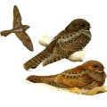 Ocelllated Poorwill