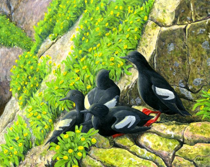 Pigeon Guillemots, Farallones, alcid, seabird