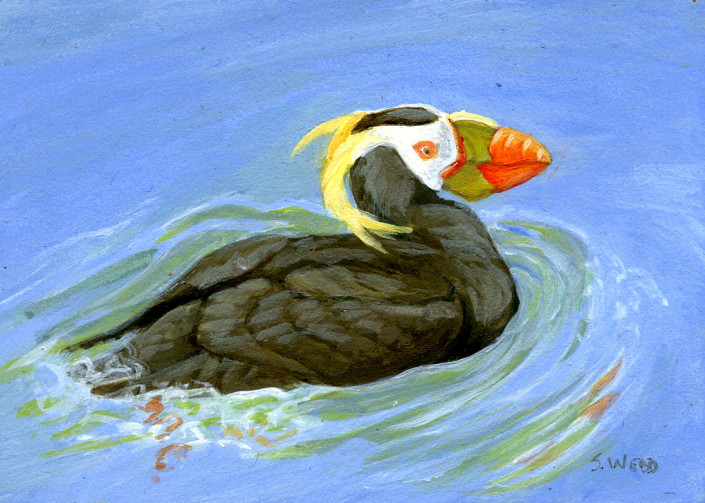 Tufted Puffin, puffin