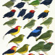Manakins, tropical birds, Tropics, birds, Peru