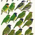Fruiteaters, tropics, birds, Peru