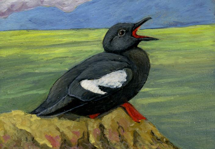 Pigeon Guillemot, alcid